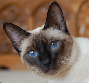 Old Style Siamese