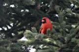 CardinalIMG_8543