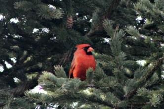 CardinalIMG_8545