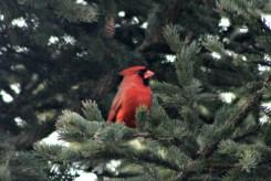 CardinalIMG_8547