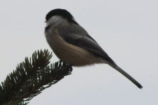 Sideways looking chickadee