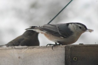NuthatchIMG_7934