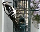 woodpecker10