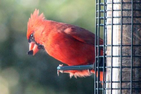 Coquettish cardinal
