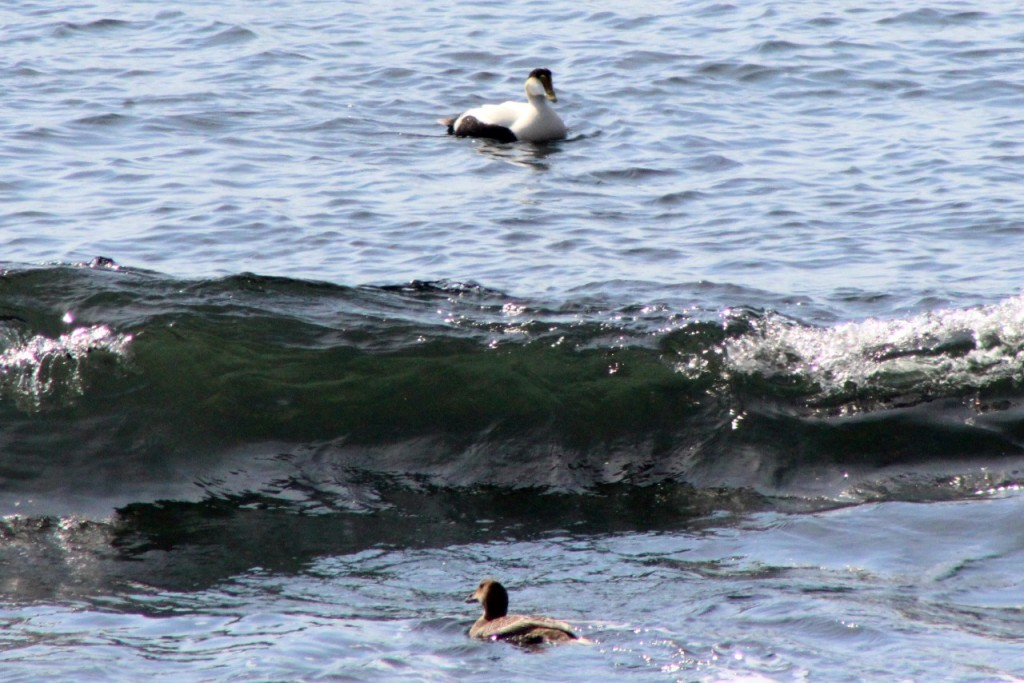 A good day for eiders