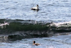 Eiders in waves