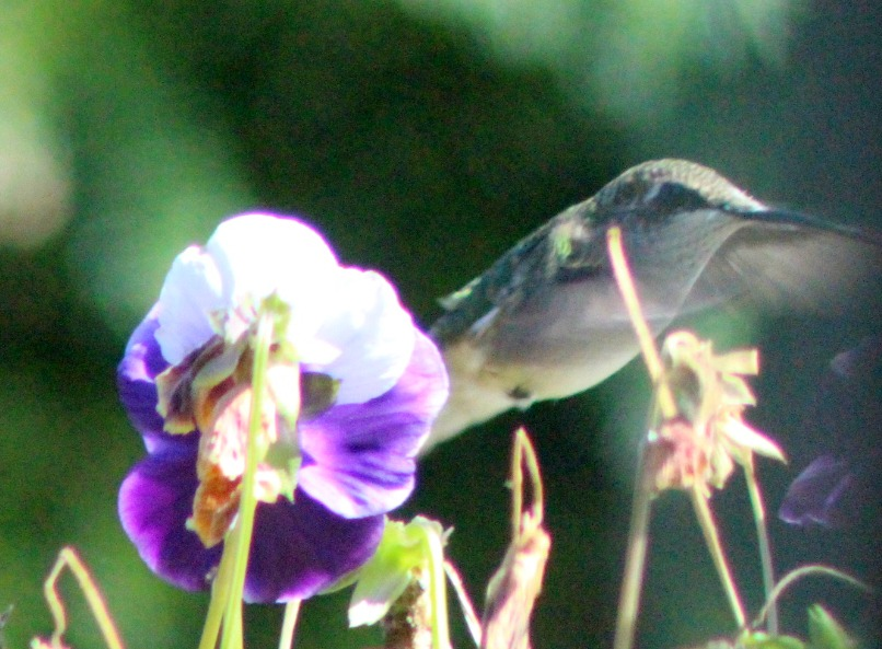 Persistent little hummingbird