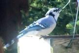 Jay at feeder