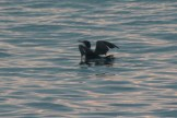 Cormorant on the wing