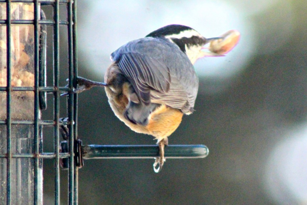 Hungry little nuthatch never ceases to fascinate