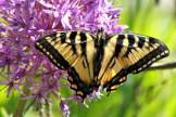 Butterfly16