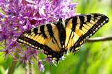 Butterfly17