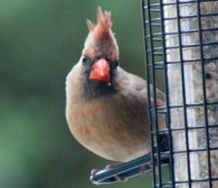 Cardinal12