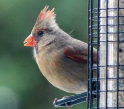 Cardinal23