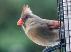Cardinal9