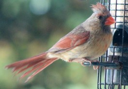 Cardinal10