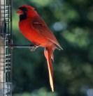 Cardinal14