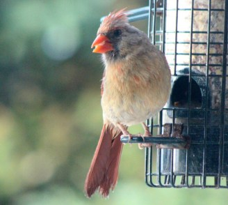 Cardinal18