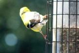 Goldfinch3