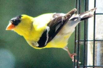Goldfinch5