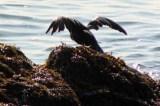 Cormorant1