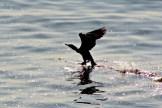 Cormorant13