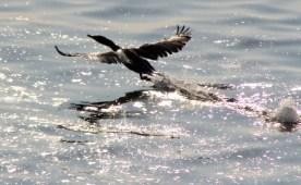 Cormorant14