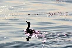 Cormorant9