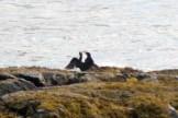 Cormorants4