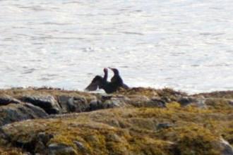 Cormorants5