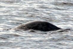 Seal17