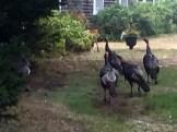 Turkeys5