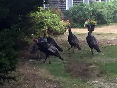 Turkeys6