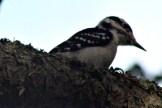 Woodpecker14