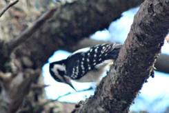 Woodpecker17