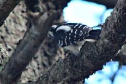Woodpecker18