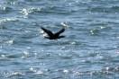Cormorant11
