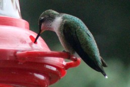 IMG_8344Hummingbird