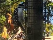 IMG_7839Woodpecker