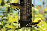 IMG_4464Finches
