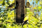 IMG_4468Finches
