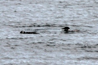 IMG_3472Loons