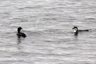 IMG_5373Loons