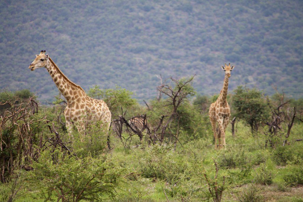 giraffe safari impodimo madikwe