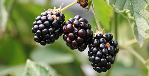 Carbs in Blackberries