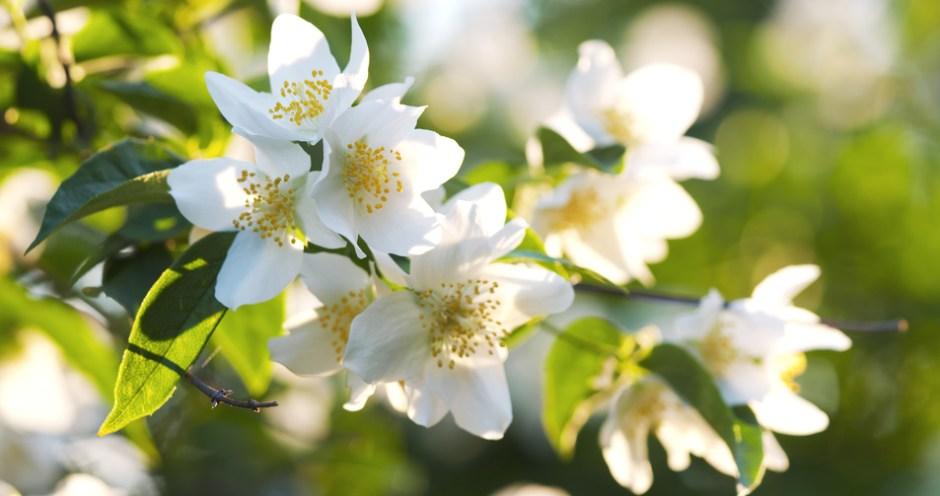 Plants that help you sleep - Jasmine