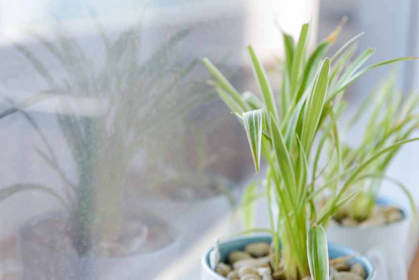 Plants that help you sleep - Spider Plant