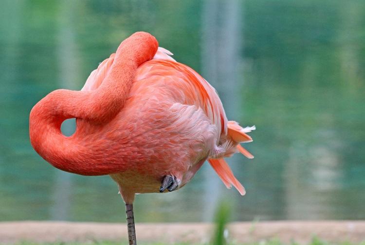 flamingo sleeping with locked legs