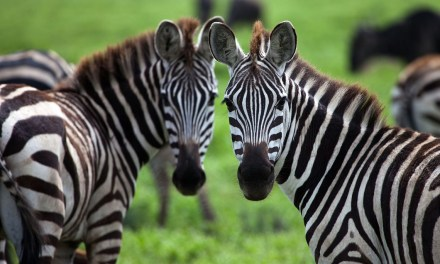 Forget Unicorns, what Zimbabwe needs are more Zebras
