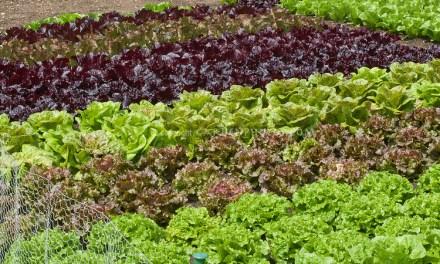 Lettuce Farming in Zimbabwe